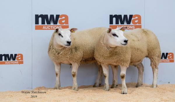 Texel gimmer lambs – £580
